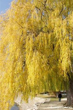 golden weeping willow