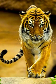 This tiger is stunning.