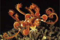 Imagini pentru Crinoidea