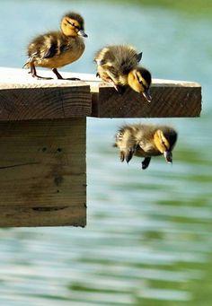 Baby ducks taking a leap