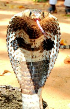 I had a street beggar throw one in front of me in Sri Lanka. Made me jump! Cute Reptiles, Reptiles And Amphibians, Mammals, Beautiful Snakes, Animals Beautiful, Anaconda, Kobra, Animals And Pets, Cute Animals