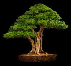 Bonsai da àrvore do Pau Brasil