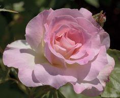 Rosa Charles Aznavour ® Meibeausai