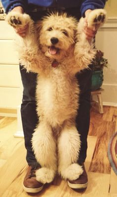 Goldendoodle- I seriously want this dog.