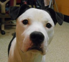JAKE. My Animal ID # is A0950505.  I am a male black and white pit bull mix. The shelter thinks I am about 2 YEARS