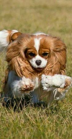 Cavalier King Charles Spaniel - very playful sweethearts