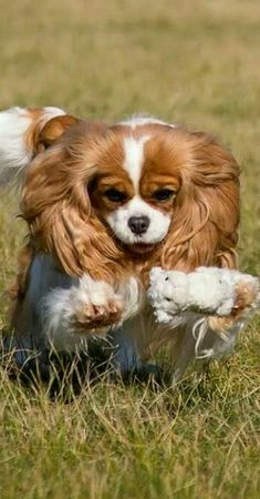 Cavalier King Charles Spaniel - very playful sweethearts