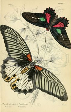 Foreign butterflies Edinburgh :Henry G. Bohn,1858. biodiversitylibrary.org/page/30564642