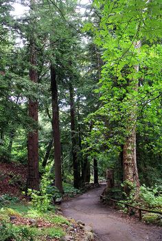 Among The Tall Redwoods In The Redwood Section At The Santa Barbara Botanic  Garden