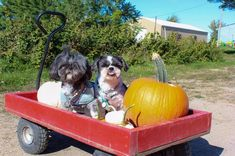 Ontario Apple Orchards & Pumpkin Patches that are Dog Friendly Planting Apple Trees, Black Car Service, Pick Your Own Apples, Pet Taxi, Dog Ice Cream, Pumpkin Patches, King City, Apple Varieties, Farm Photo
