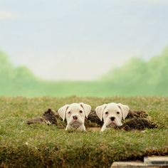 Two white boxer puppies standing in hole (background hand tinted)