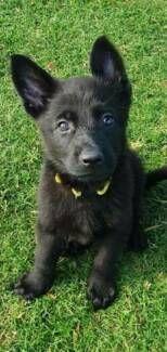 German Shepherd Dog Puppy All Black Pet Products Gumtree Australia Hume Area Campbellfield 1215278144 Shepherd Dog Dogs And Puppies All Black Dog