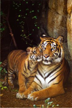 The tiger has been voted as the most favorite animal in the whole world in an opinion survey held by Animal Planet that has narrowly defeated the dog. ...so if everyone loves them so much, then why don't we do something to stop them from becoming extinct?...