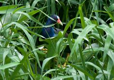 Foto frango-d'água-azul (Porphyrio martinicus) por Evaldo Nascimento | Wiki Aves - A Enciclopédia das Aves do Brasil