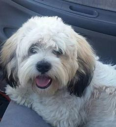 Scrappy Doo is an adoptable Wheaten Terrier, Lhasa Apso Dog in Porter Ranch, CA DOB: December 2014 ||  BREED/COLORING: Wheaten/Lhasa Apso; tri-colored   ||  SIZE: Scrappy weig ... ...Read more about me on @petfinder.com