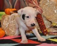 Harriet D172029 - Pit Bull Terrier