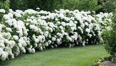 The Gorgeous Hydrangea: Full Introduction, Care and Tips - Garten Hydrangea Arborescens Annabelle, Hydrangea Landscaping, Hydrangea Garden, Beautiful Gardens, Beautiful Flowers, Smooth Hydrangea, Front Yard Flowers, Laurel, Gardening