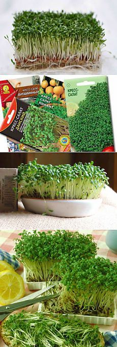 Выращивание кресс-салата на подоконнике даже детям по плечу   Дача - впрок