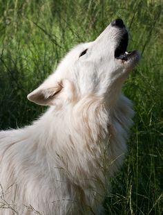 White Wolf Pictures . Image Gallery on Animal Picture Society