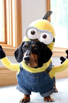 Dachshund Minions will fill your day with joy. Gru CostumeMinion Dog ... & These 30 Halloween Dog Costumes Will Put A Smile On Your Face ...