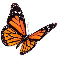 Mariposa monarca (Danaus plexippus)                                                                                                                                                                                 Más