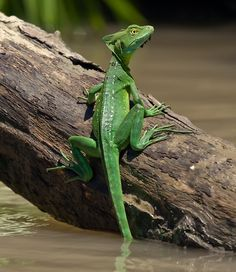 - Basiliscus by Radiga Les Reptiles, Cute Reptiles, Reptiles And Amphibians, Animals Of The World, Animals And Pets, Cute Animals, Lizard Types, Terrarium Reptile, Lizard Dragon
