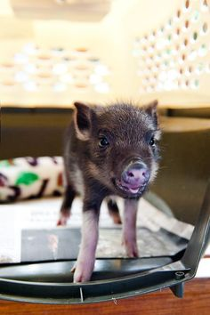 This little piggy was found running around at a hotel lobby in Oahu. Pukalani is currently at the Humane Society and will be available for adoption.