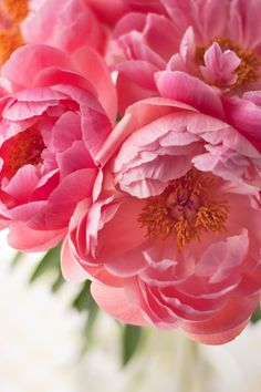 Breath-taking Coral Charm peonies, whose petals change colour... | Flowerona