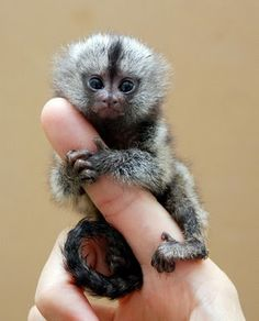 The finger monkey is the tiniest living primate in the world. It's so small that it can hold on to your finger. This cute little primate hugs and grips on to your finger so tight that it pulls your heartstrings and you wish you could take it home with you. Finger monkeys are, as a matter of fact, pygmy marmosets. They are also known by the names 'pocket monkey' and 'tiny lion'.