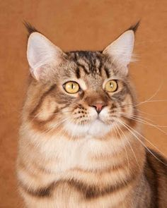 Viral Stories: #2 Maine Coon