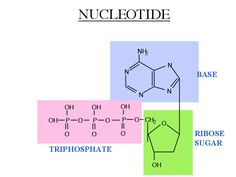 A nucleotide is composed of 3 main parts: The base (A,T,G,C), a ribose sugar, and a phosphate group. The base can be split into 2 categories: purines and pyrimidines. Purines consist of Adenine and Guanine, while pyrimidines concept of Cytosine, Thymine, and Uracil.