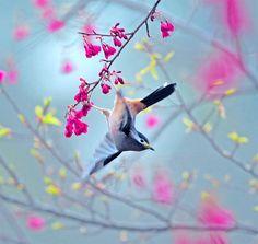 #696 白耳暮舞 Dusk Dance | Flickr - Photo Sharing!