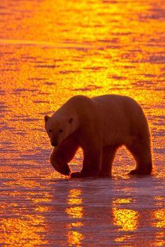 our-amazing-world:  Polar bear sunset by Amazing World