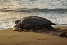 Female leatherback sea turtles travel great distances to return to their natal beaches to lay eggs. A new study examines how they choose their nesting sites. Leatherback Turtle Nesting Habits and Habitats [image] Turtle Day, Turtle Love, Animals Images, Nature Animals, Largest Sea Turtle, Leatherback Turtle, Save The Sea Turtles, Oceans Of The World, Wild Creatures