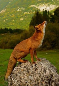 Red Fox by Marco Bianchi. This reminds me of the fable about the fox and the grapes.