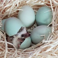 My, oh my, look what just hatched! Too Cute #hedgehogs #hedgehog