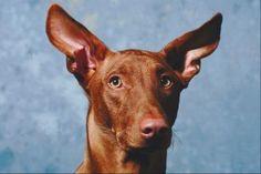 White Vinegar Home Remedy for Dog Ears