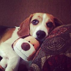 Beagle snuggling with toy