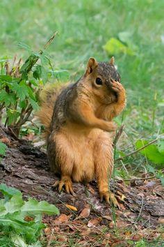 Squirrel Pictures, Cute Animal Pictures, Images Of Squirrels, Cute Funny Animals, Cute Baby Animals, Funny Owls, Nature Animals, Animals And Pets, Small Animals