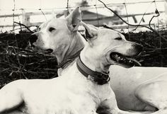 The Dogo Argentino is a pack-hunting dog, bred for the pursuit of big-game such as wild boar and puma, and possesses the strength, intellige...