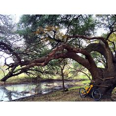 Everything is bigger in Texas especially the old oak trees. McAllister Park has long been a favored venue for San Antonio Road Runner club races--many of which I ran as a kid. It's a bit magical to come back and explore the dirt trails instead of just the paved paths. It's like I'd never been there.  #biketexas #yetitribe #mtb #intothewoods by texpatcolo