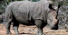 """""""O GRITO DO BICHO"""": Morre um dos 6 rinocerontes brancos do norte #ogritodobicho #falabicho"""