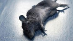 GM soy kills baby rats in just three weeks, study reveals...