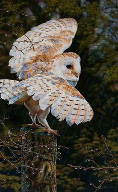 Rain Man (Barn Owl Painting) © Esther van Hulsen http://www.esthervanhulsen.com/