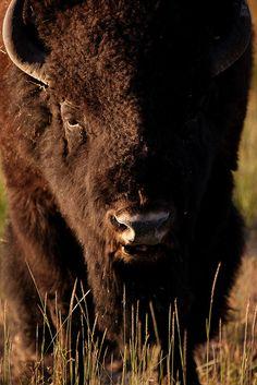 Bison, Yellowstone National Park, Wyoming.  Photo: Alberto Cueto, via Flickr