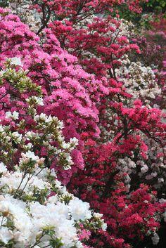 Flores da cerimônia ! Lindasssss azaleias em tons de rosa e branca!