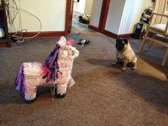 The standoff continues - pug v. unicorn pinata puggi, animals, pug pug, funni, pugs, pug dogs, anim dog, standoff, anim སམསཅན