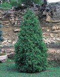 Thuja occidentalis smaragd conifer pot plants - Inner - GardenGuide