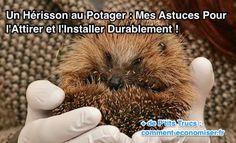 Un Hérisson au Potager : mes astuces pour l'Attirer et l'Installer Durablement !