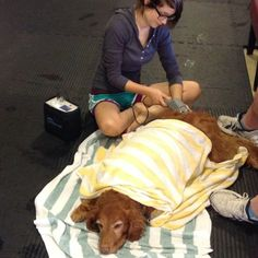 Day 18: Your pet sleeping - Lily taking a nap while getting laser therapy at #hvc #30dayphotochallenge #keeppetshealthy